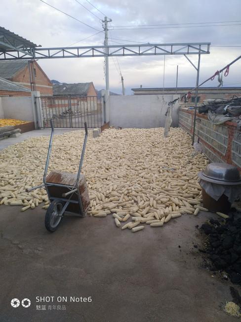 京科糯2000玉米粒 霉变≤2% 杂质很少