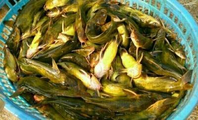 重庆璧山区池塘黄颡鱼 人工殖养 0.05公斤