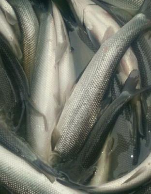 重庆璧山区淡水银鳕鱼 人工养殖