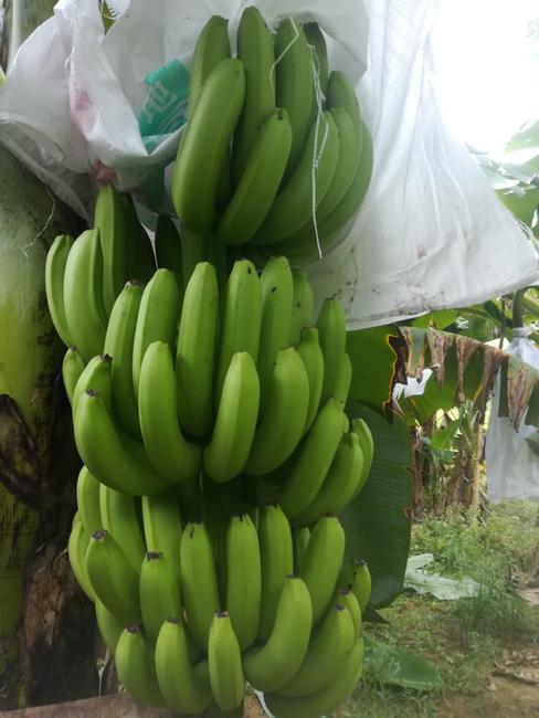 广东香蕉1号 八成熟