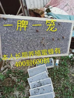 广西壮族自治区河池市南丹县阿坝中蜂王