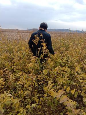 吉林省长春市九台区矮接金叶榆