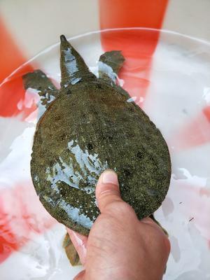 仿野生甲鱼 2斤的25一斤