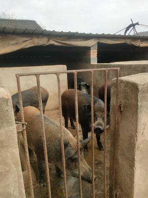 甘肃省平凉市灵台县特种野猪 80斤以上 公