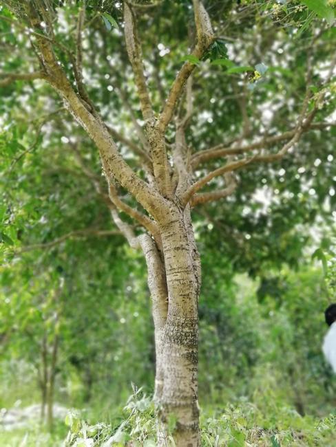 黄金桂花树