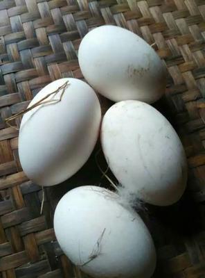 广西壮族自治区北海市合浦县狮头鹅蛋 食用 散装