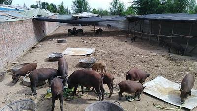 宁夏回族自治区银川市灵武市生态野猪 80斤以上 统货