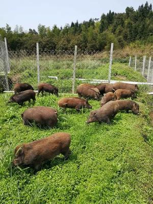 广西壮族自治区桂林市资源县特种野猪 100斤以上 统货