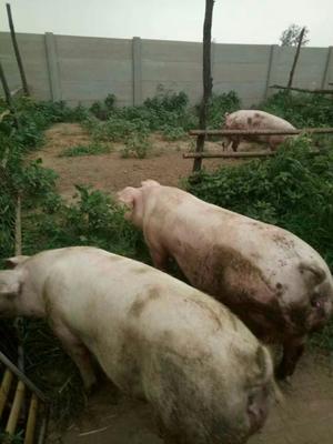 河北省石家庄市高邑县土猪肉 生肉