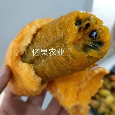 江西省上饶市鄱阳县九月黄金蕉苗