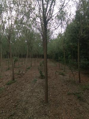 河南省许昌市鄢陵县法国桐树