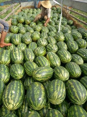 云南省德宏傣族景颇族自治州瑞丽市缅甸西瓜 有籽 1茬 8成熟 15斤打底