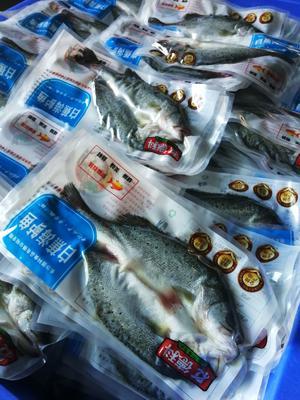 广东省珠海市斗门区海鲈鱼 人工养殖 1-1.5公斤