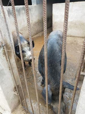 甘肃省平凉市灵台县特种野猪 100斤以上 统货