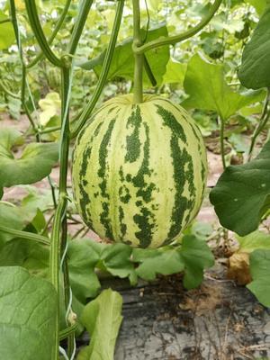 山东省聊城市莘县花蕾甜瓜 0.5斤以上
