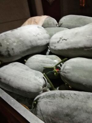 四川省攀枝花市米易县吊冬瓜 15斤以上 白霜