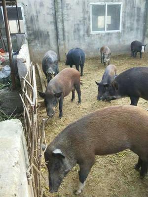 安徽省淮南市潘集区特种野猪 160斤以上 统货