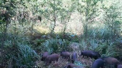 四川省巴中市平昌县特种野猪 80斤以上 统货