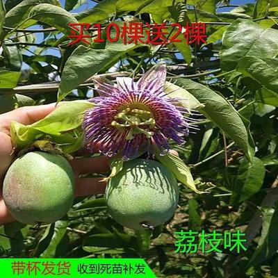 荔枝味百香果苗