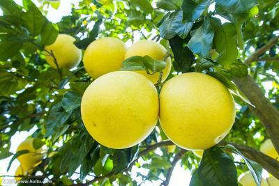 琯溪蜜柚 2斤以上