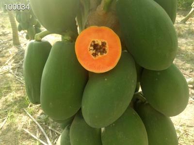 广西壮族自治区崇左市龙州县红心木瓜 1.5 - 2斤
