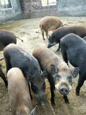 安徽省淮南市潘集区特种野猪 140斤以上 统货