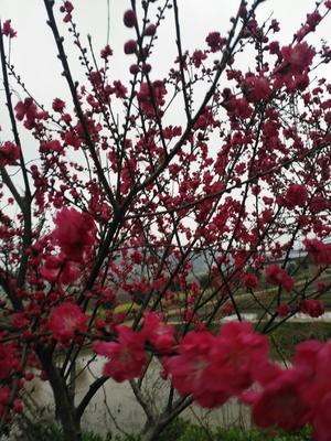 湖南省长沙市岳麓区满天红碧桃苗