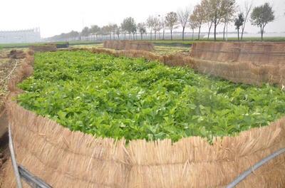 马家沟芹菜 55~60cm 露天种植 0.5~1.0斤