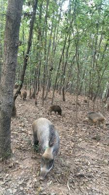 安徽省滁州市凤阳县生态野猪 100斤以上 统货