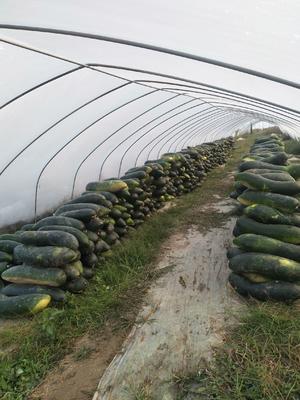 江苏省泰州市泰兴市子弹头黑皮冬瓜 15斤以上 黑皮