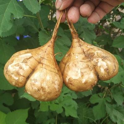 山西省太原市万柏林区白梨瓜 0.3斤以上
