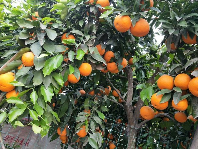 红心橙苗 嫁接苗 0.5~1米