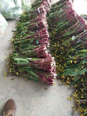 湖北省宜昌市当阳市红菜苔 30~35cm