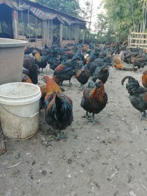 广西壮族自治区玉林市陆川县山地乌骨鸡 6-7斤