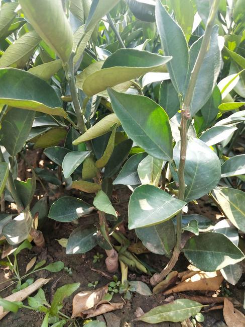 纽荷尔脐橙苗 嫁接苗 0.3米