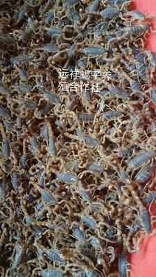 河南省洛阳市西工区条斑钳蝎