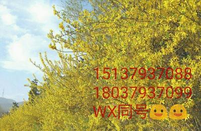 河南省洛阳市嵩县迎春花