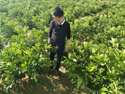 纽荷尔脐橙苗 挂果树 1~1.5米