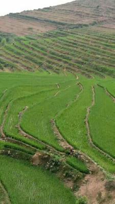 云南省普洱市墨江哈尼族自治县墨江有机紫米