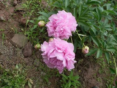 河南省洛阳市老城区多花芍药 2cm以下 0.5~1米