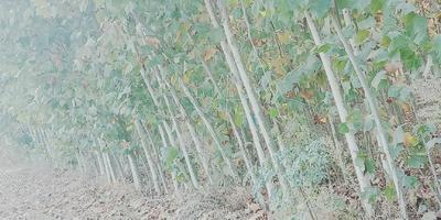 河南省周口市西华县法国桐树