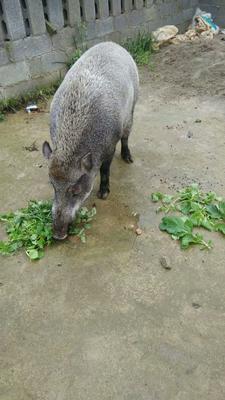 贵州省毕节市赫章县生态野猪 100斤以上 统货