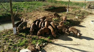 贵州省毕节市赫章县生态野猪 20-30斤 统货