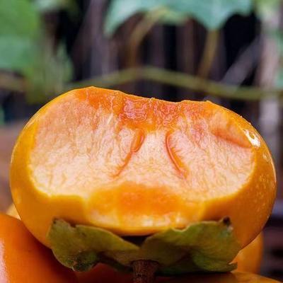 日本次郎甜柿苗 鲜食 不用脱涩包品种
