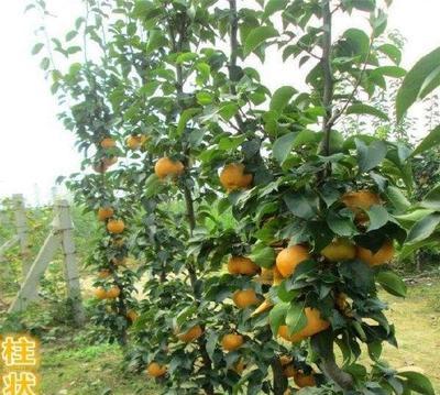 柱状梨苗 1~1.5米