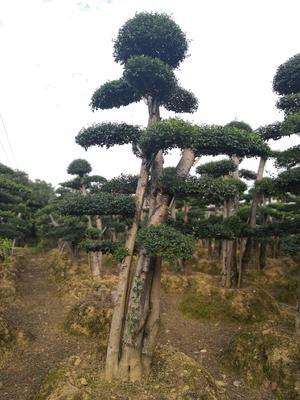 湖南省长沙市浏阳市小叶女贞造型树