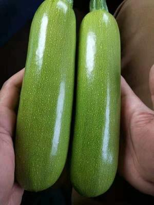 山东省潍坊市寿光市绿皮西葫芦种子