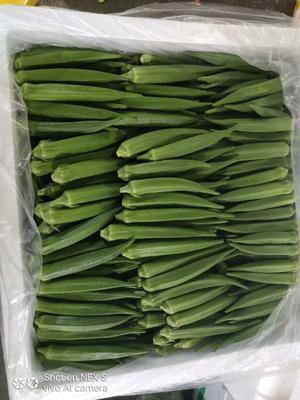 广东省广州市白云区黄秋葵 12 - 15cm