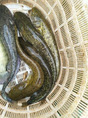 广西壮族自治区玉林市博白县大口鲶鱼 人工养殖 1.5-2.5公斤