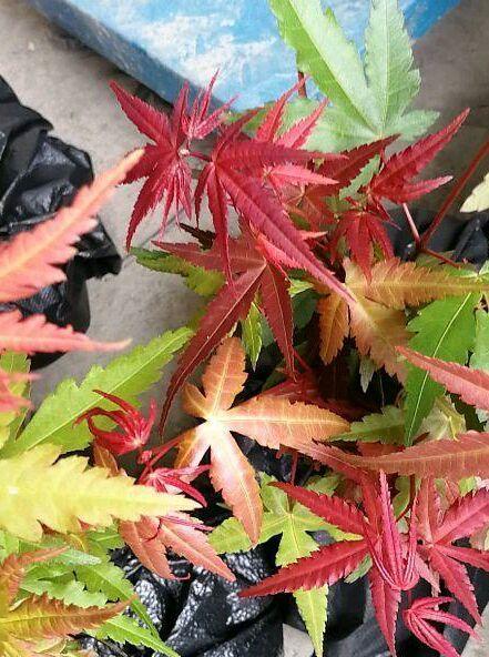 日本红枫/日本红丝带